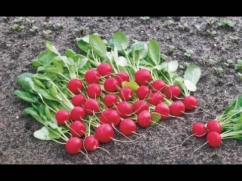 Выращивание раннего редиса в открытом грунте