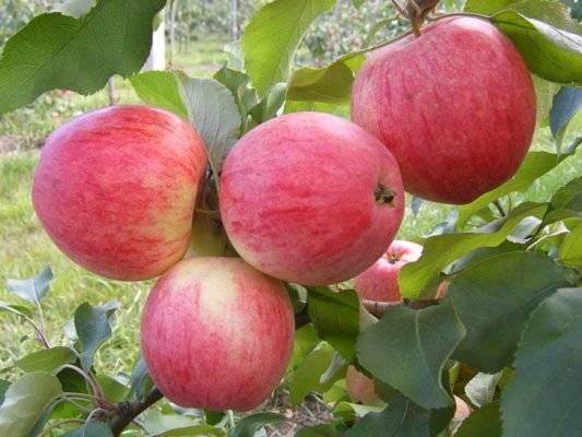 Подробное описание сорта яблок штрифель