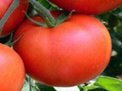 Особенности выращивания томата марьина роща — описание и характеристика сорта