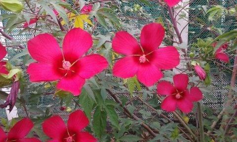 Гибискус садовый: уход и размножение, посадка и пересадка китайской розы, древовидный и травянистый гибискус: выращивание и как зимует, фото и видео