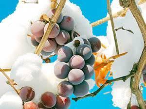 Посадка и выращивание винограда на урале