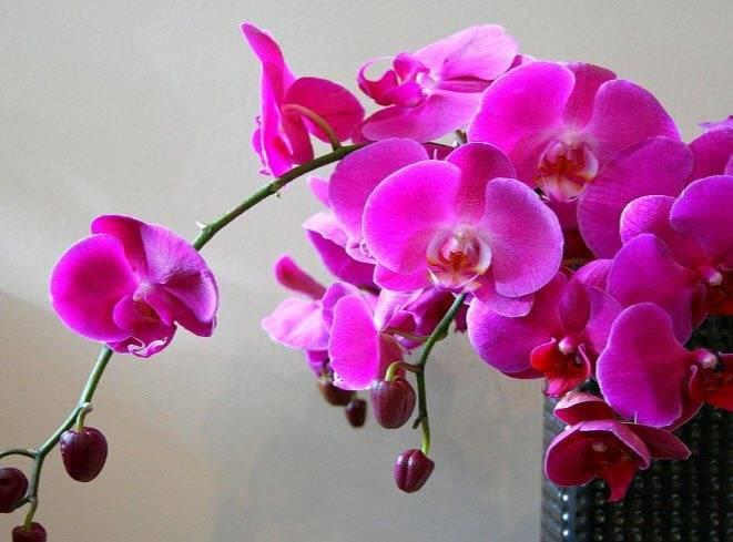 Орхидея: выращивание дома, почему сохнут листья и корни