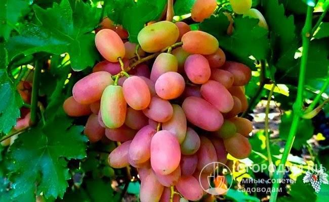 Виноград ризамат: характеристика сорта и особенности выращивания