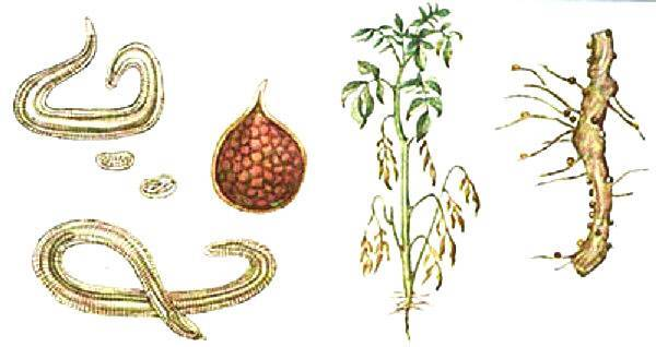 Распространенные болезни ботвы картофеля: названия, фото и способы лечения