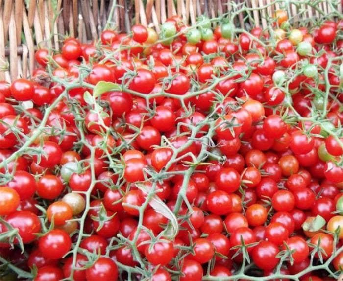 Дрожжи для удобрения помидоров: как использовать