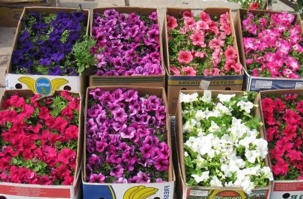 4 секрета при выборе семян петунии