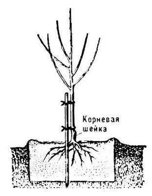 Посадка плодовых деревьев и кустарников на участке весной