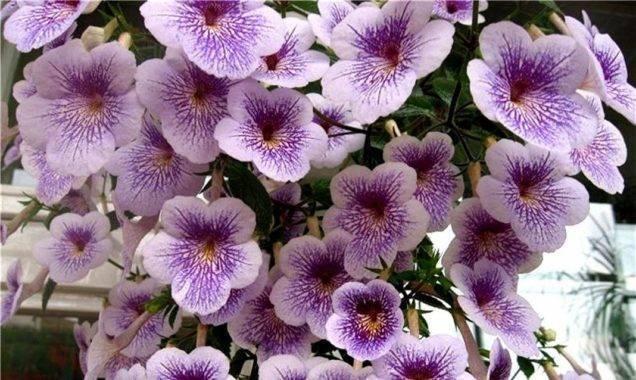 Домашние цветы ахименесы — уход и выращивание