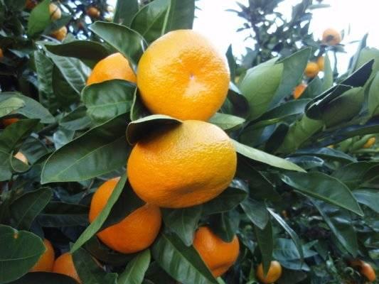 Мандариновое дерево — уход в домашних условиях