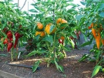 Технология выращивания сладкого перца в теплице и правила ухода за ним