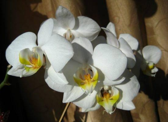 Почему у орхидеи вялые листья, что делать в такой ситуации?