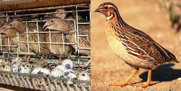 Содержание перепелов: как своими руками создать условия для продуктивного разведения экзотических птиц?