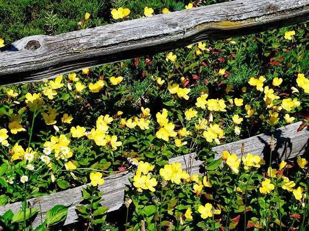 Посадка и уход за энотерой многолетней, фото цветов