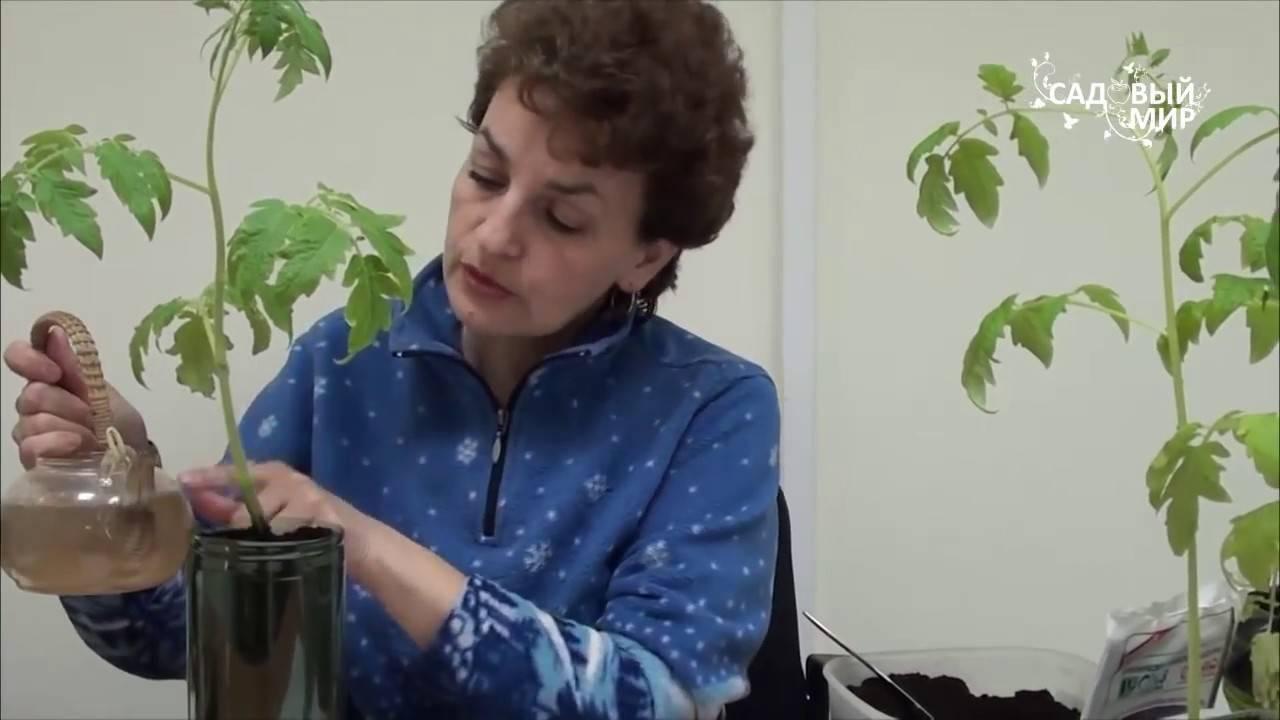Как вырастить рассаду физалисов