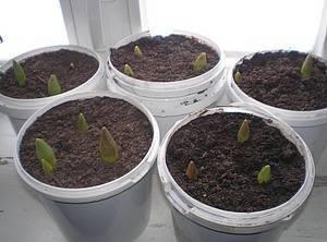 Тюльпаны на выгонку к 8 марта в домашних условиях когда сажать. нежный букет к 8 марта — выгонка тюльпанов дома