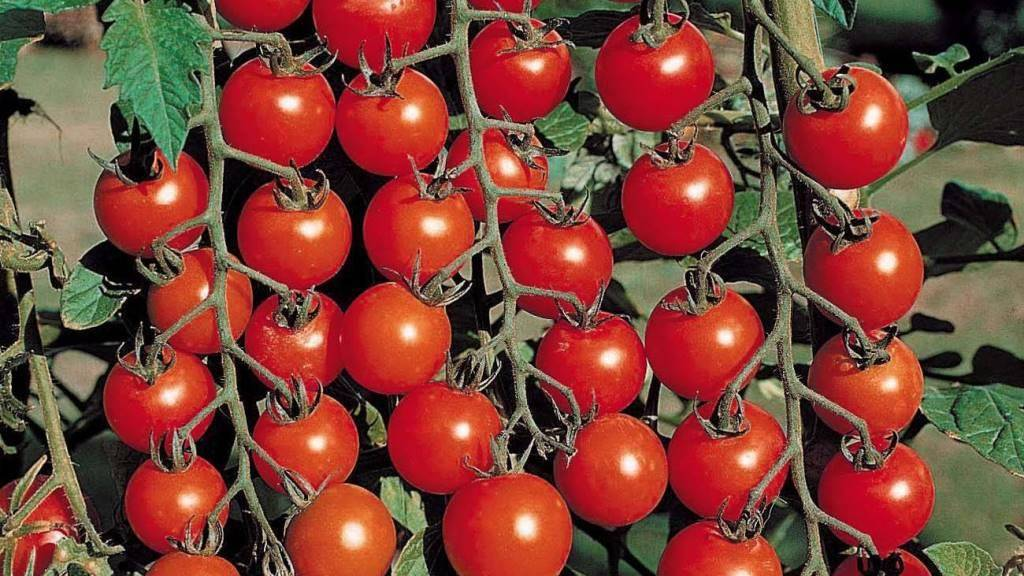 Сорта помидоров, устойчивых к фитофторозу