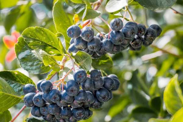 Посадка плодового кустарника аронии черноплодной