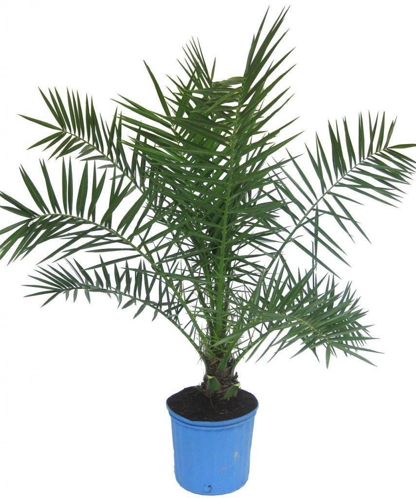 Финиковая пальма — как растет финик в домашних условиях