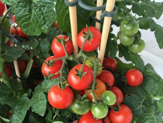 Высадка рассады помидоров в теплице