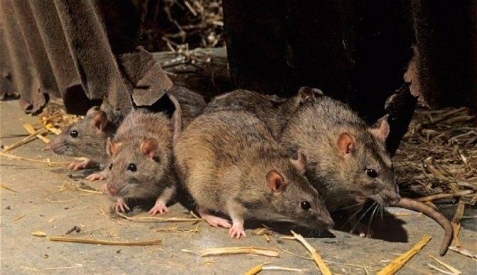 Как избавиться от мышей в жилище, погребе, на огороде или в автомобиле