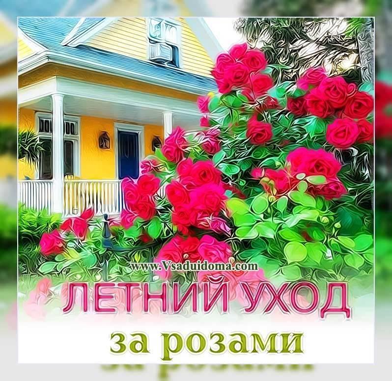 Розы весной: обрезка, подкормка. розы в открытом грунте: 9 дел в апреле-мае