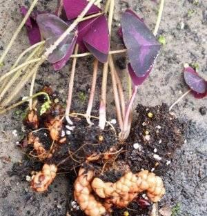 Спатифиллум — размножение в домашних условиях