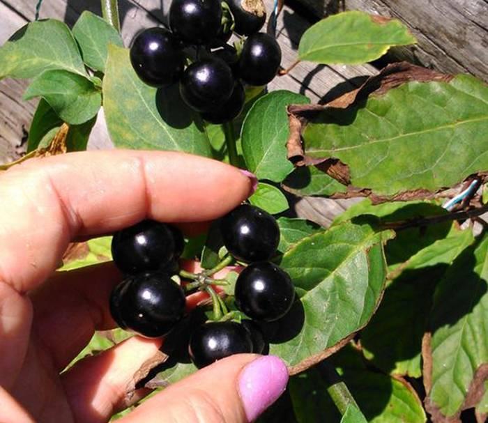 «солнечная» ягода или санберри: полезные свойства, положительное влияние на здоровье и возможные противопоказания