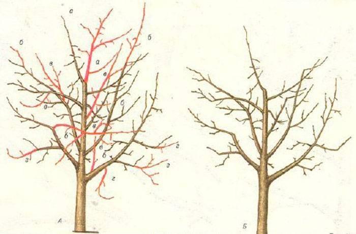 Выращивание шелковицы в подмосковье: подходящие сорта, особенности посадки и ухода