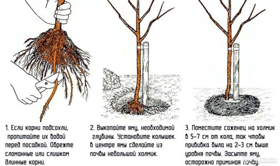 Как посадить сливу осенью