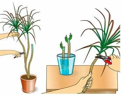Размножение драцены в домашних условиях не представляет особой сложности