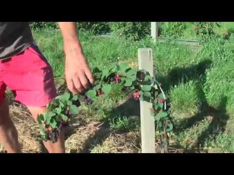 Посадка ирги или как правильно вырастить кустарник?