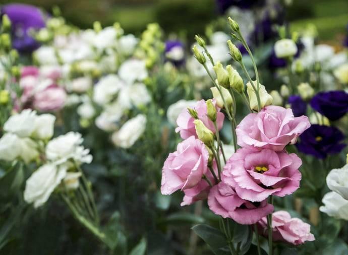 Как вырастить цветок эустома из семян: правила посадки и ухода