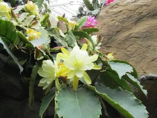Эпифиллум – неприхотливое и цветущее растение для домашней оранжереи