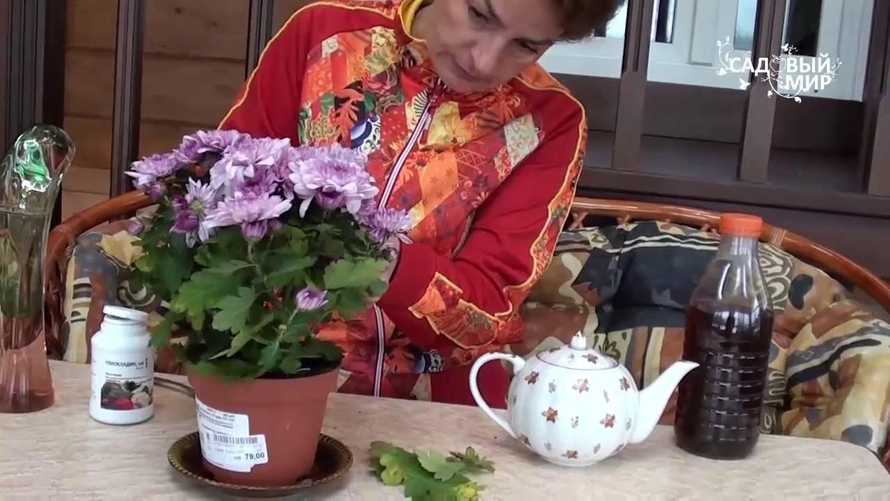 Хризантемы - выращивание в открытом грунте