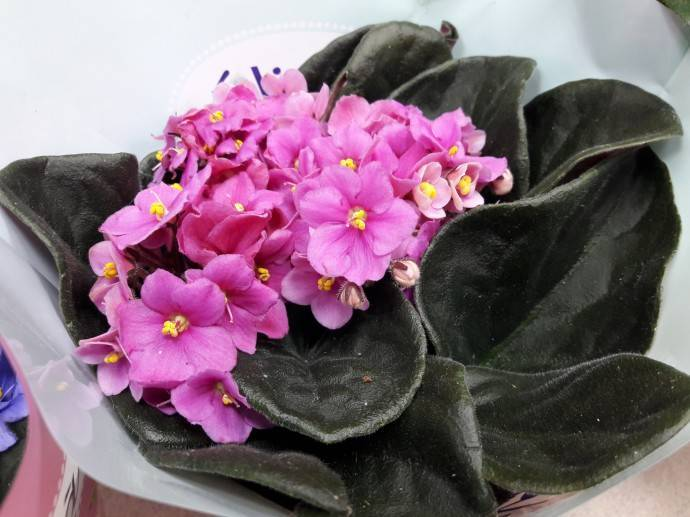 Фиалки в домашних условиях: выращивание на подоконнике