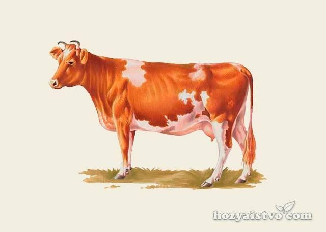 Как выбрать хорошую корову? критерии выбора, обзор лучших пород, приметы
