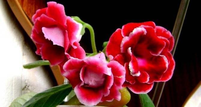 Глоксиния не цветет что делать. секреты формирования компактного кустика глоксинии