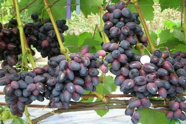 Виноград «красотка»