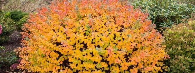 Осенняя обрезка декоративных кустарников