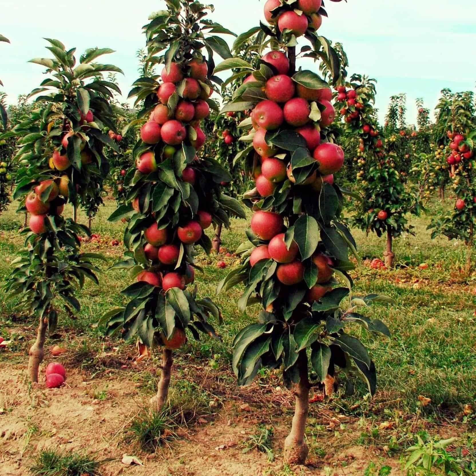 Колоновидная яблоня: описание, выращивание, лучшие сорта с фото