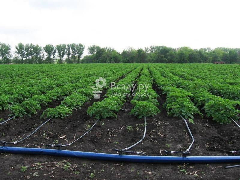 Как поливать картофель в открытом грунте