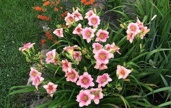 Лилейник: «любимый цветок садовников»