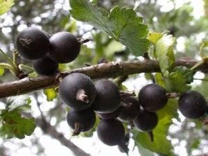 Особенности выращивания йошты, описание растения и способы размножения