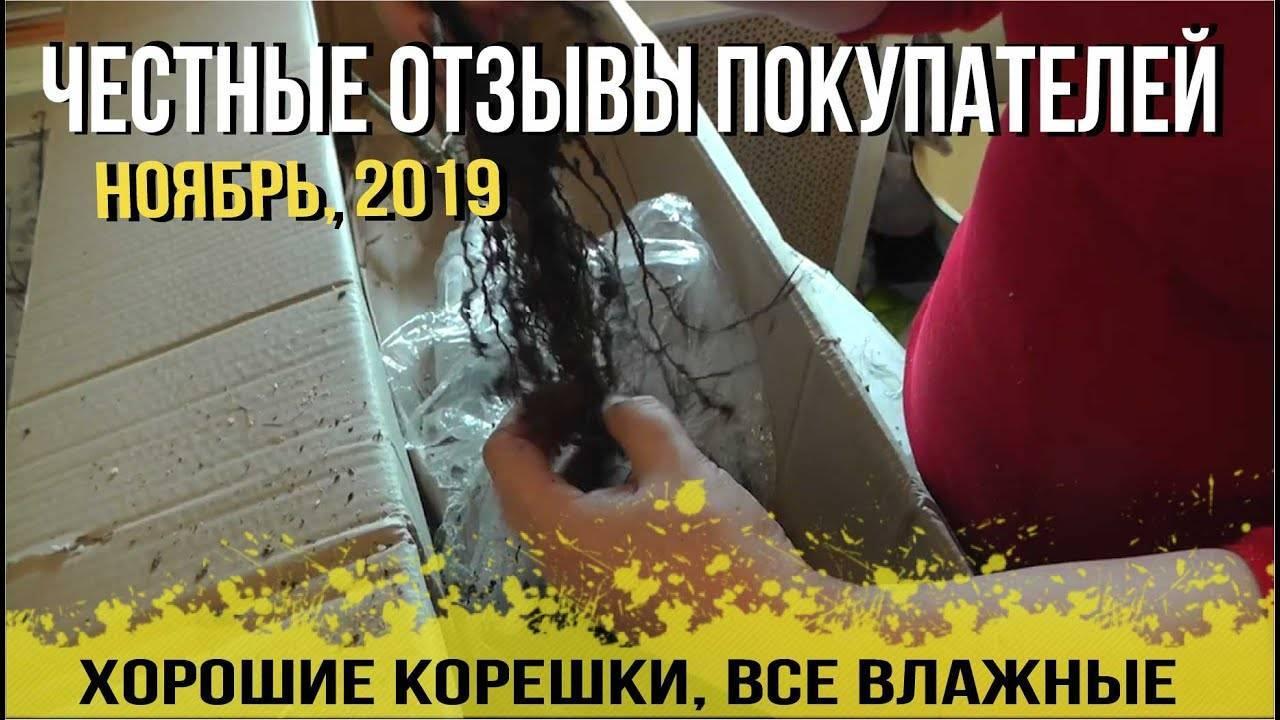 Шелковица. секреты выращивания тутовника в средней полосе и подмосковье