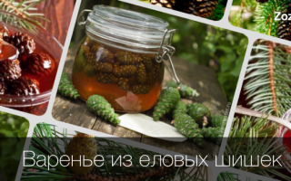 Варенье из шишек сосны — польза и вред, свойства и применение
