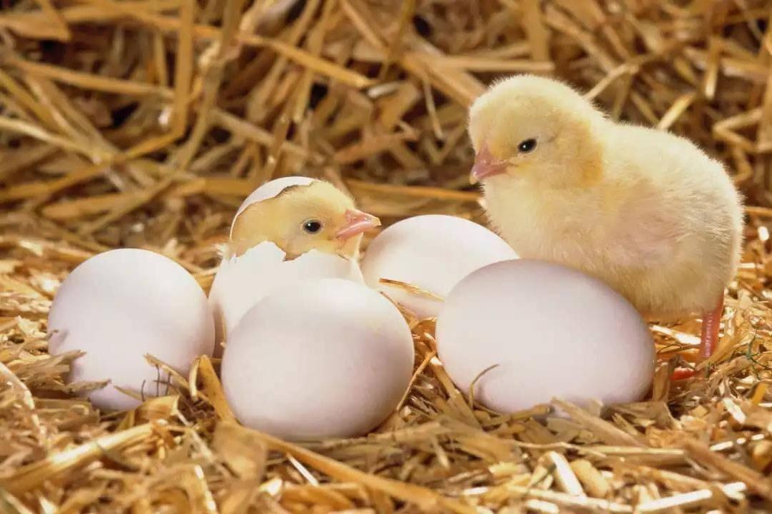 В чем секрет вылупления из яиц курочек, а не петухов?