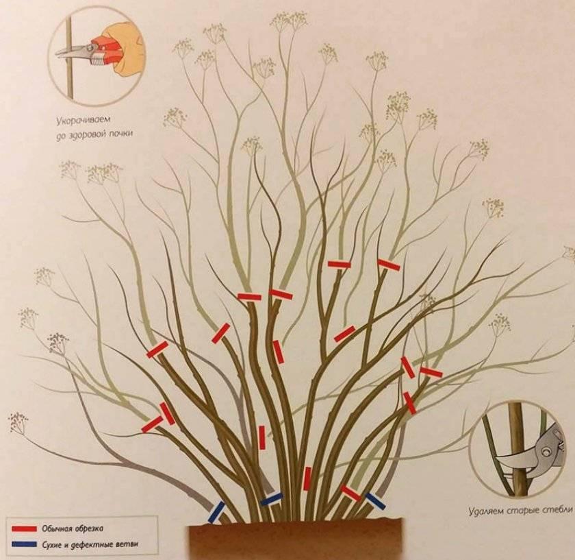 Спирея: посадка и уход за обильно цветущим кустарником