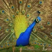 Как развести у себя царскую птицу — павлина