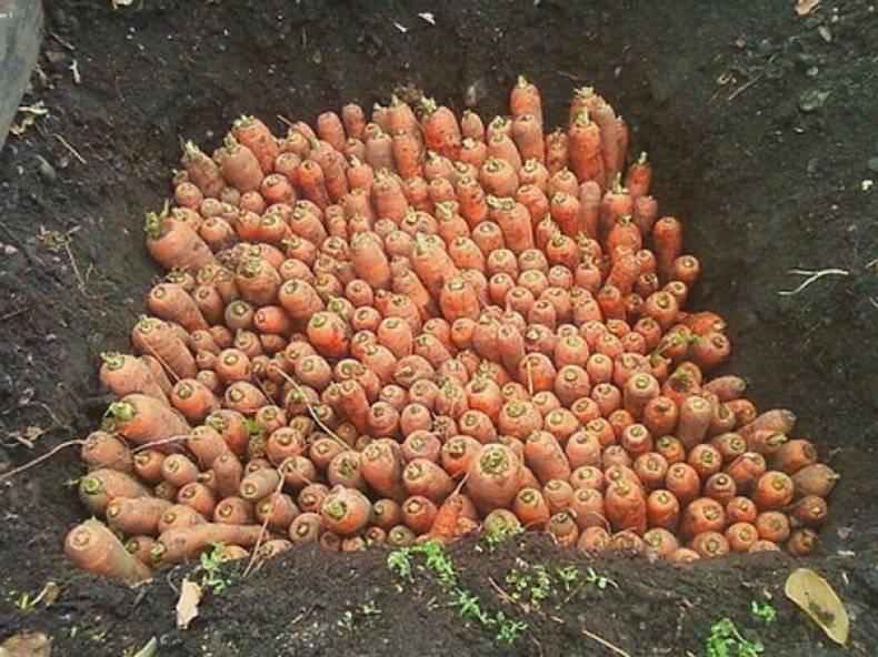 Возможно ли и как сохранить морковь на грядке до весны: пошаговый алгоритм, советы по выбору подходящего сорта