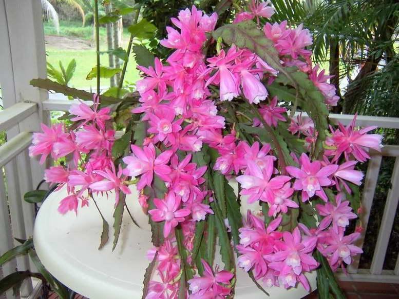 Эпифиллум: популярные разновидности, условия выращивания